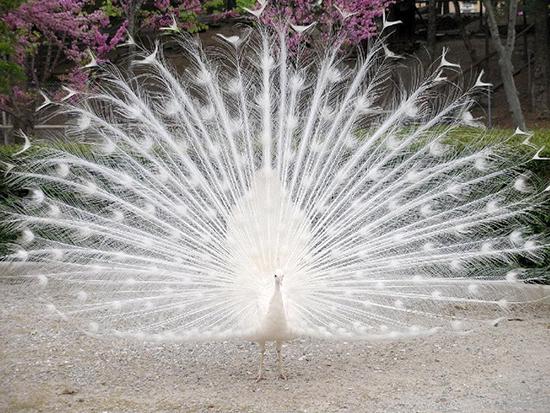 White-Peacock-Wallpaper7